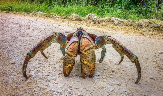 This Video Of A Monster Crab Killing A Bird Is Pure Terror