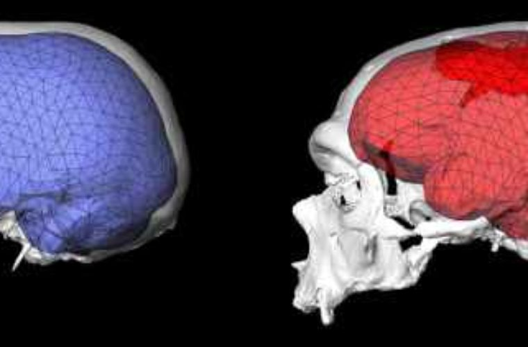 The Evolution of Round Brains Ushered in the 'Human Revolution' – Earth Mystery News
