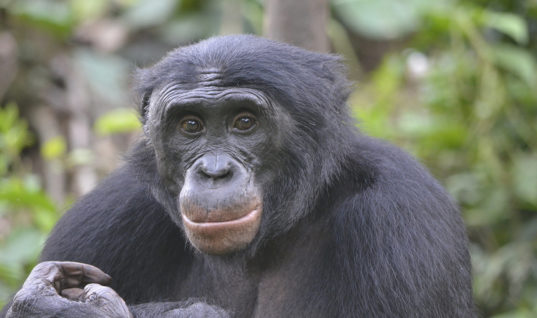 Bonobos Are Attracted to Creeps