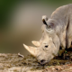 Over 1,000 Rhinos Were Slaughtered In South Africa Last Year