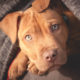Delta Bans 'Pit Bull Type Dogs' As Service Animals On Flights