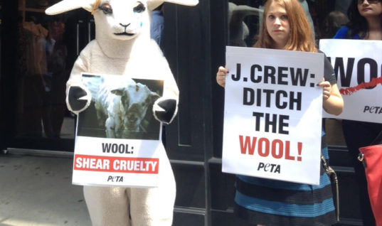 PETA Is Going After Wool