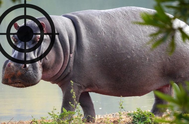 Government of Zambia To Allow The Killing of Over 1,200 Hippos