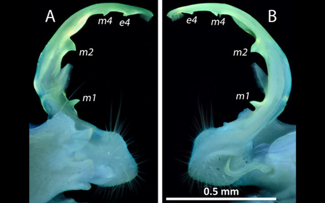 The glowing genitals of <i>Pseudopolydesmus caddo</i>.