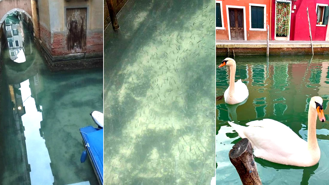 Swans and hundreds of fish return to the channels of Venice after the quarantine in Italy 31