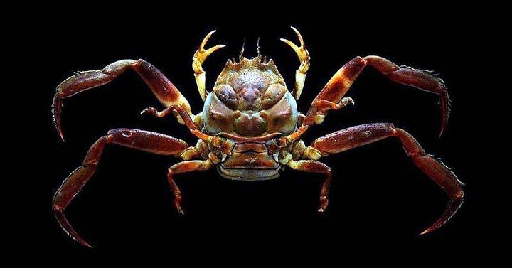 Heike, the mystery of the samurai-faced crabs 36