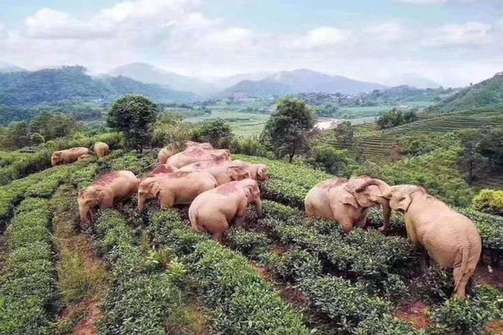 Quarantine: 14 elephants enter a field, drink wine and nap 31