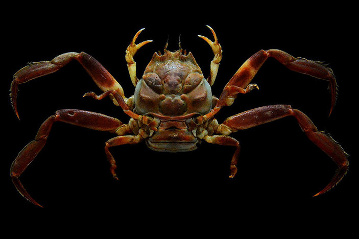 Heike, the mystery of the samurai-faced crabs 31