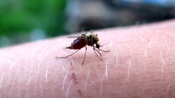 Genetically modified mosquitoes could be released in the US 61