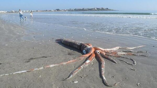 The Kraken Exists: A giant squid appears on a South African beach 54