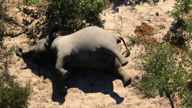 Hundreds of elephants mysteriously die in Botswana 34