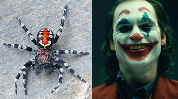 Scientists name a species of spider in honor of Joaquin Phoenix's Joker 13