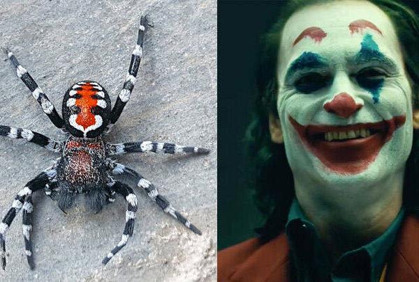 Scientists name a species of spider in honor of Joaquin Phoenix's Joker 39