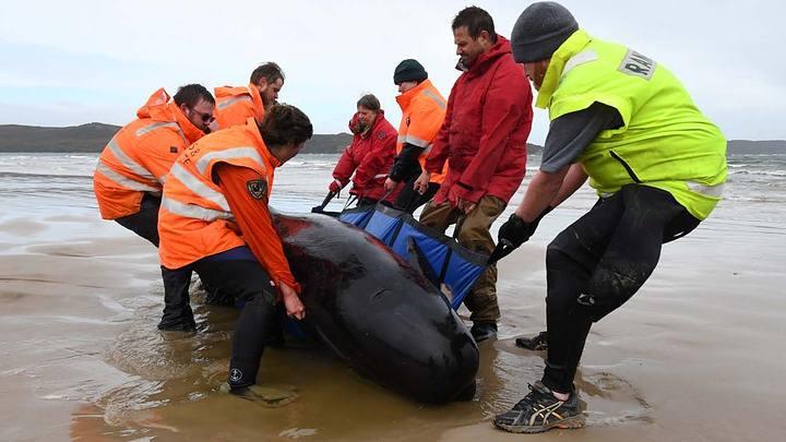 470 whales stranded off Tasman coast 39