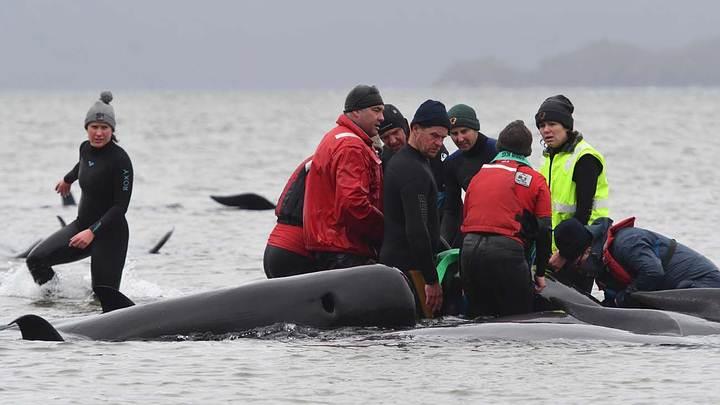470 whales stranded off Tasman coast 40
