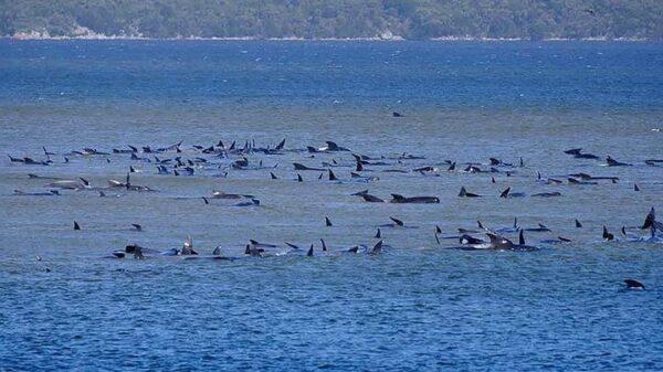 470 whales stranded off Tasman coast 8