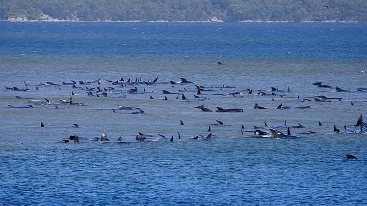 470 whales stranded off Tasman coast 37